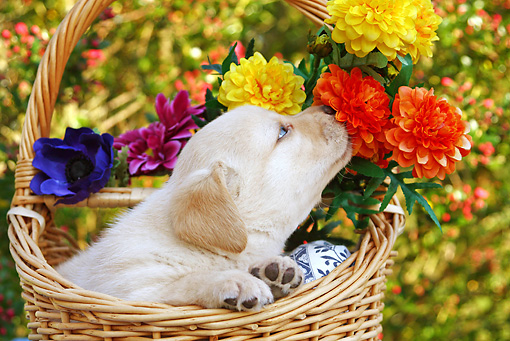PUP 05 SJ0008 01 © Kimball Stock Yellow Labrador Retriever Puppy Sitting In Wicker Basket Smelling Flowers