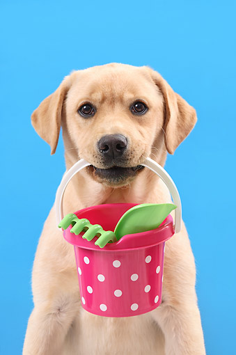 PUP 05 XA0003 01 © Kimball Stock Yellow Labrador Puppy Holding Toy Bucket With Shovels