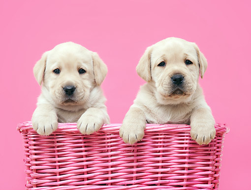 PUP 05 XA0004 01 © Kimball Stock Yellow Lab Puppies Sitting In Basket