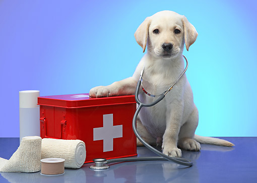 PUP 05 XA0006 01 © Kimball Stock Yellow Labrador Puppy Playing As Doctor