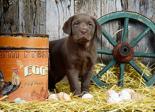 PUP 05 XA0008 01 © Kimball Stock Chocolate Labrador Standing In Barn With Hay And Fresh Eggs