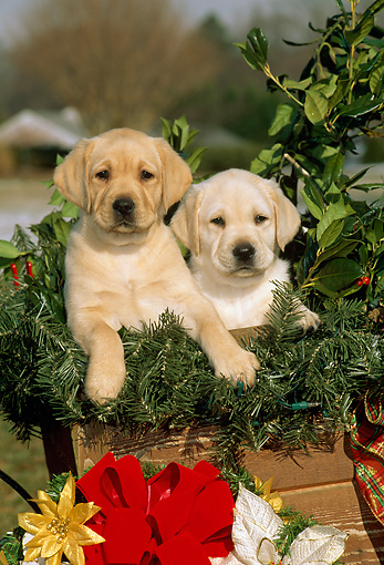 PUP 05 CE0001 01 © Kimball Stock Two Yellow Labrador Retriever Puppies Sitting In Wooden Box With Christmas Decor