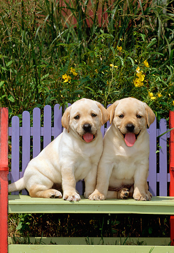 PUP 05 CE0003 01 © Kimball Stock Two Yellow Labrador Retriever Puppies Sitting On Colorful Bench By Foliage