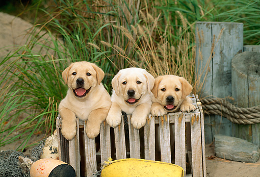 PUP 05 CE0004 01 © Kimball Stock Three Yellow Labrador Retriever Puppies Sitting In Wooden Crate At Dock