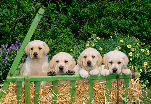 PUP 05 CE0005 01 © Kimball Stock Four Yellow Labrador Retriever Puppies Sitting In Cart By Shrubs