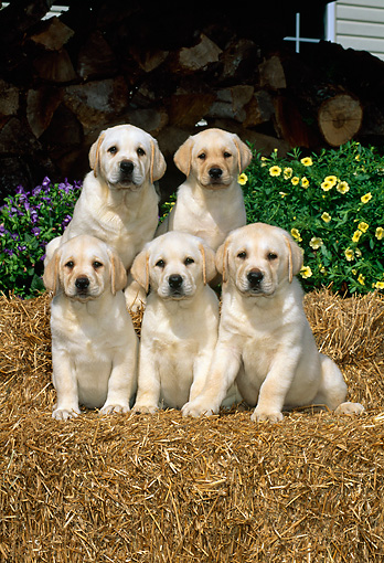 PUP 05 CE0006 01 © Kimball Stock Five Yellow Labrador Retriever Puppies Sitting On Hay Bales By Woodpile