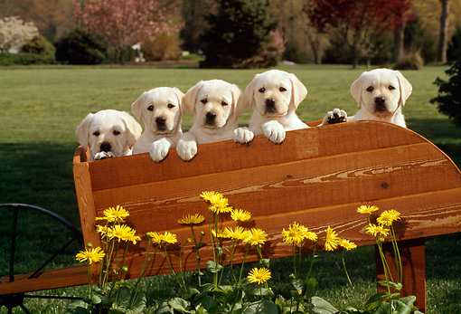PUP 05 CE0007 01 © Kimball Stock Five Yellow Labrador Retriever Puppies Sitting In Wheelbarrow By Yellow Flowers