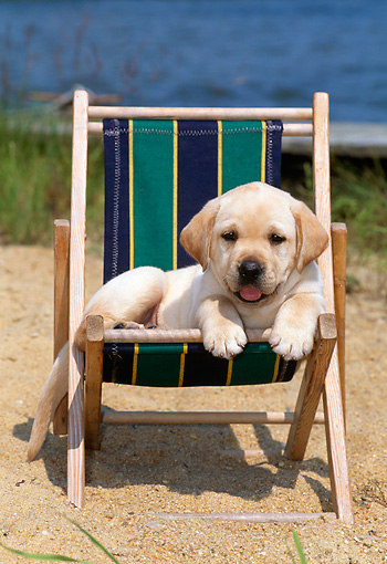 PUP 05 CE0008 01 © Kimball Stock Yellow Labrador Retriever Puppy Laying In Chair At Beach