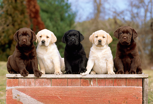 PUP 05 CE0009 01 © Kimball Stock Yellow Chocolate And Black Labrador Retriever Puppies Sitting On Wooden Platform By Woods