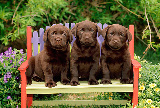 PUP 05 CE0010 01 © Kimball Stock Three Chocolate Labrador Retriever Puppies Sitting On Colorful Bench By Foliage