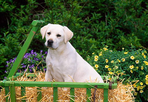 PUP 05 CE0019 01 © Kimball Stock Yellow Labrador Retriever Puppy Sitting In Cart By Flowers And Shrubs
