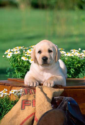 PUP 05 CE0022 01 © Kimball Stock Head On View Of Yellow Labrador Retriever Puppy Laying On Box By Flowers