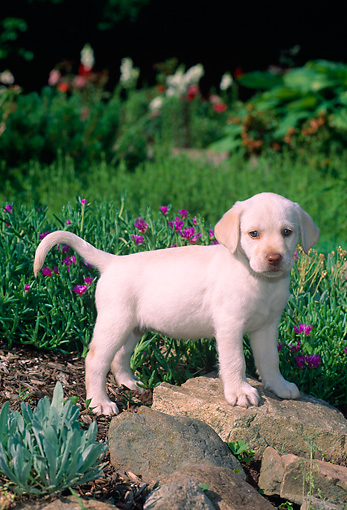 PUP 05 CE0024 01 © Kimball Stock Yellow Labrador Retriever Puppy Stepping On Rock In Garden