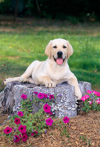 PUP 05 CE0026 01 © Kimball Stock Head On View Of Yellow Labrador Retriever Puppy Laying On Tree Stump By Flowers