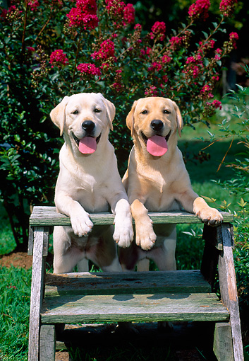 PUP 05 CE0027 01 © Kimball Stock Head On View Of Two Yellow Labrador Retriever Puppies Leaning On Stepladder By Flowering Shrub