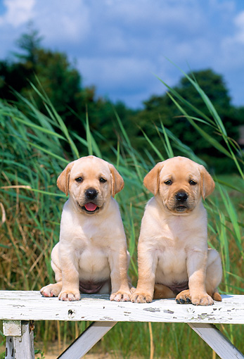 PUP 05 CE0028 01 © Kimball Stock Two Yellow Labrador Retriever Puppies Sitting On Wooden Bench By Tall Grass