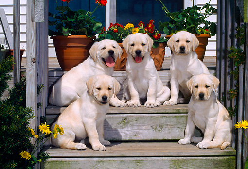 PUP 05 CE0030 01 © Kimball Stock Five Yellow Labrador Retriever Puppies Sitting On Steps By Flowers House