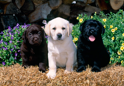 PUP 05 CE0031 01 © Kimball Stock Black Yellow And Chocolate  Labrador Retrievers Sitting On Hay Bale By Flowers