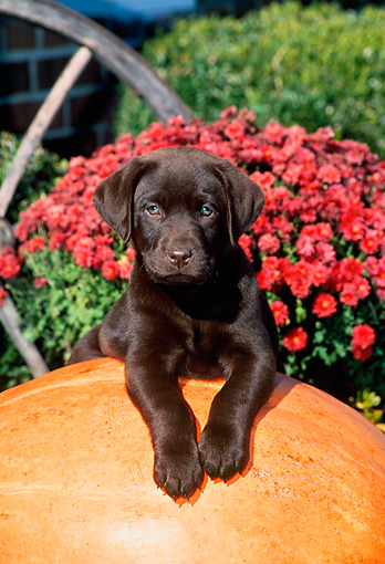 PUP 05 CE0033 01 © Kimball Stock Chocolate Labrador Retriever Laying On Pumpkin By Flowers