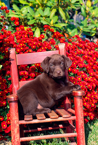 PUP 05 CE0034 01 © Kimball Stock Chocolate Labrador Retriever Sitting On Chair By Red Flowers