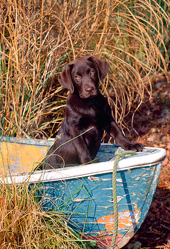 PUP 05 CE0035 01 © Kimball Stock Chocolate Labrador Retriever Standing In Old Boat By Reeds