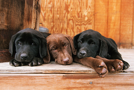 PUP 05 DB0004 01 © Kimball Stock Black And Chocolate Labrador Retriever Puppies Laying Together