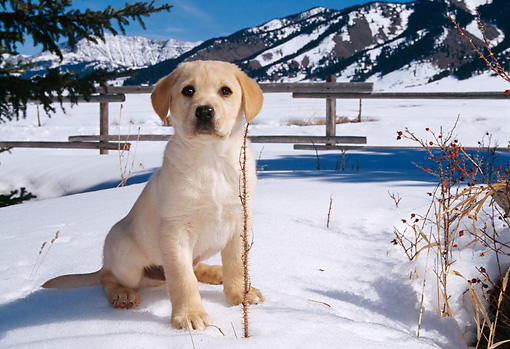 PUP 05 DB0009 01 © Kimball Stock Yellow Labrador Retriever Puppy In Snow