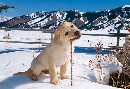 PUP 05 DB0010 01 © Kimball Stock Yellow Labrador Retriever Puppy Chewing Twig In Snow