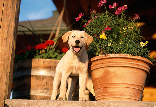 PUP 05 DB0013 01 © Kimball Stock Yellow Labrador Retriever Puppy Standing On Porch With Flower Pot
