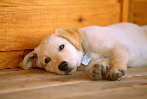PUP 05 DB0014 01 © Kimball Stock Yellow Labrador Retriever Puppy Sleeping On Porch