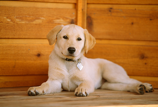 PUP 05 DB0016 01 © Kimball Stock Yellow Labrador Retriever Puppy Laying On Porch
