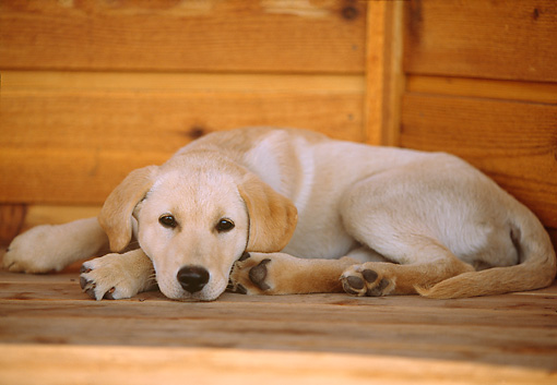 PUP 05 DB0017 01 © Kimball Stock Yellow Labrador Retriever Puppy Laying On Porch