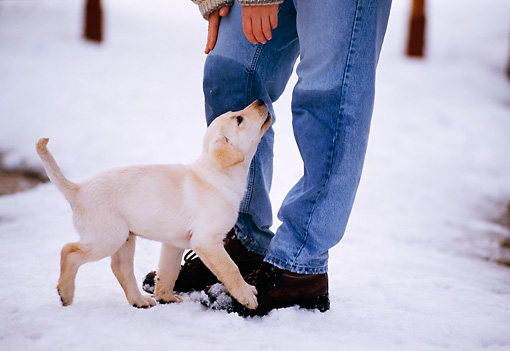 PUP 05 DB0021 01 © Kimball Stock Yellow Labrador Retriever Puppy In Snow With Owner