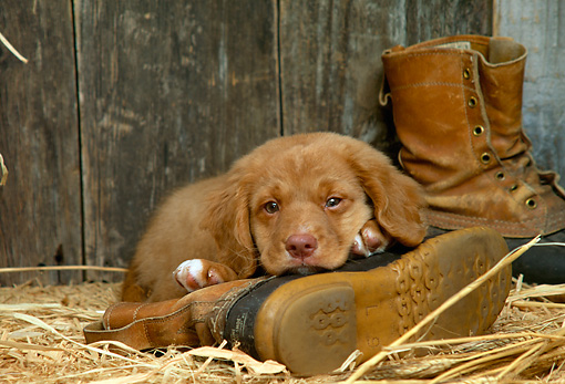 PUP 05 DC0025 01 © Kimball Stock Portrait Of Nova Scotia Duck Tolling Retriever Puppy Laying On Boot