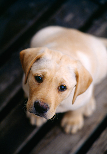 PUP 05 DS0003 01 © Kimball Stock Yellow Labrador Retriever Puppy Sitting On Wooden Deck Overhead