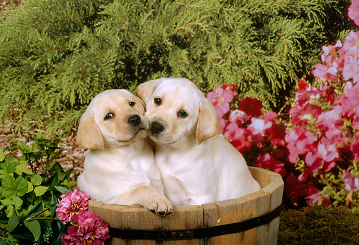 PUP 05 FA0004 01 © Kimball Stock Two Yellow Labrador Retriever Puppies Sitting In Wooden Bucket By Flowers