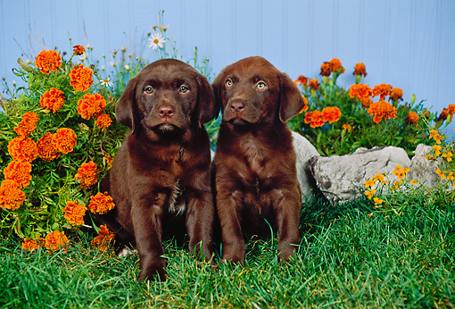 PUP 05 FA0011 01 © Kimball Stock Two Chocolate Labrador Retriever Puppies Sitting On Grass By Orange Flowers And Blue Fence