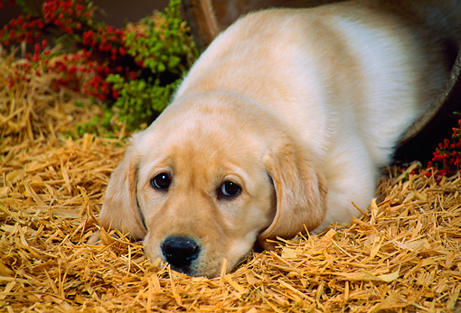 PUP 05 FA0015 01 © Kimball Stock Yellow Labrador Retriever Puppy Laying On Straw