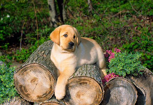 PUP 05 FA0016 01 © Kimball Stock Yellow Labrador Retriever Puppy Laying On Logs