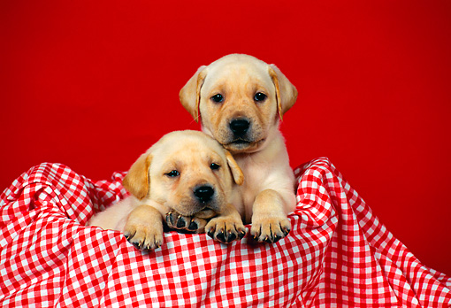 PUP 05 FA0019 01 © Kimball Stock Two Yellow Labrador Retriever Puppies Sitting In Checkered Cloth Basket