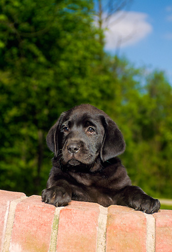 PUP 05 FA0020 01 © Kimball Stock Black Labrador Retriever Puppy Looking Over Brick Wall