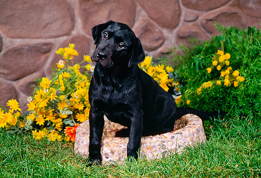 PUP 05 FA0021 01 © Kimball Stock Black Labrador Retriever Puppy Sitting In Garden