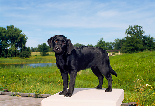 PUP 05 FA0022 01 © Kimball Stock Black Labrador Retriever Puppy Standing By Field