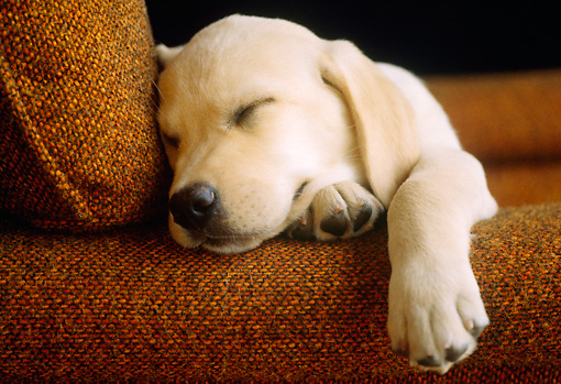 PUP 05 GR0001 02 © Kimball Stock Head Shot Of Yellow Lab Puppy Sleeping On Chair
