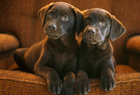 PUP 05 GR0004 01 © Kimball Stock Head Shot Of Two Chocolate Labrador Puppies Laying On Chair