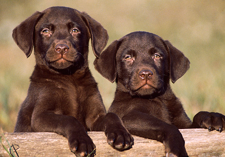PUP 05 GR0005 02 © Kimball Stock Head Shot Of Two Chocolate Labrador Puppies On Log