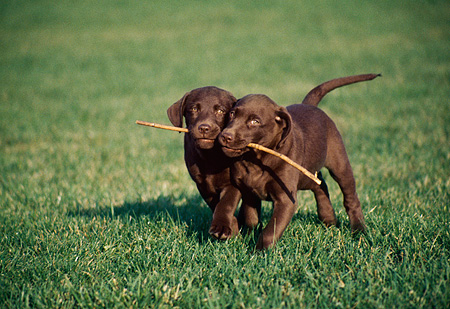 PUP 05 GR0023 01 © Kimball Stock Two Chocolate Labrador Retriever Puppies Running With Stick In Mouth On Grass
