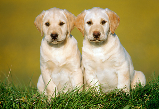 PUP 05 GR0041 01 © Kimball Stock Two Yellow Labrador Retriever Puppies Sitting On Grass