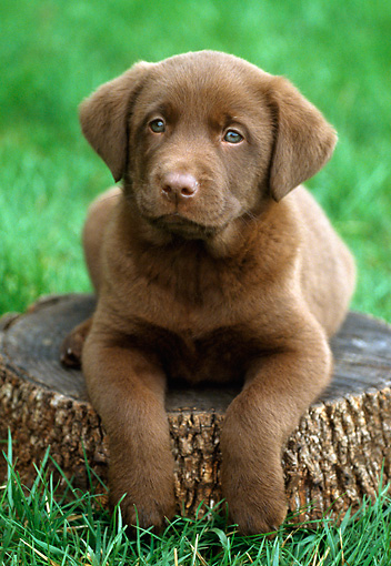 PUP 05 GR0044 01 © Kimball Stock Chocolate Labrador Retreiver Puppy Laying On Tree Stump