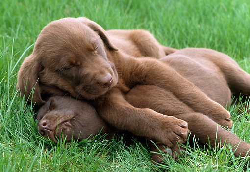 PUP 05 GR0046 01 © Kimball Stock Two Chocolate Labrador Retreiver Puppies Sleeping In Grass